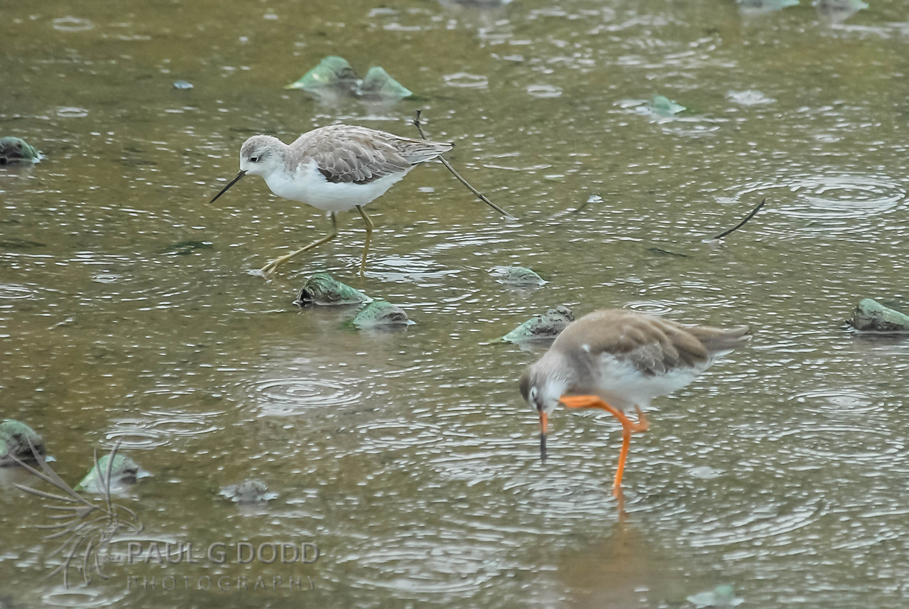 Common Greenshank, Common Redshank
