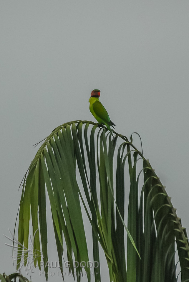 Long-tailed Parakeet