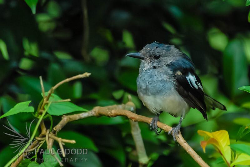 Oriental Magpie-robin (fem)