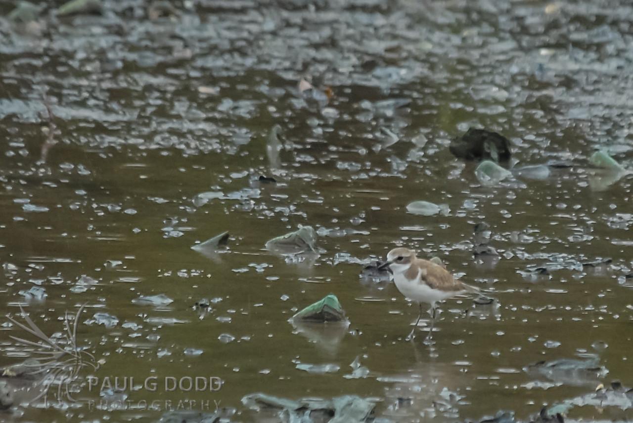 Lesser Sand (Mongolian) Plover