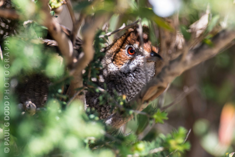 Rufous Bristlebird