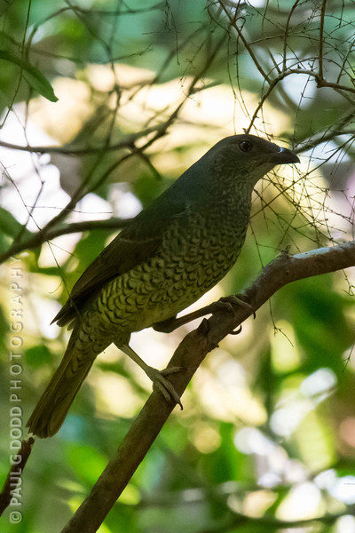 Satin Bowerbird (female)