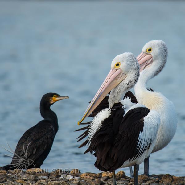 Great Cormorant and Australian Pelicans
