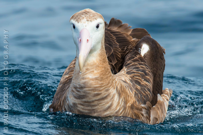 Wandering Albatross (imm)