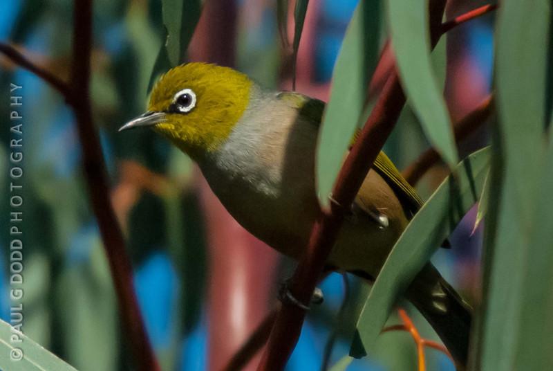 Silvereye (ssp lateralis)