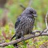 Dusky Woodswallow (imm)