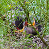 Red Wattlebird with young