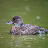 Blue-billed Duck (female)