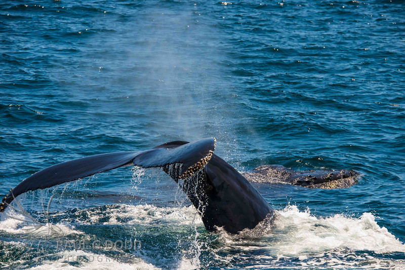 Humpback Whale (mother and calf)