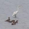 Common Merganser, Great Egret