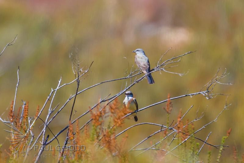 Western Bluebird and Western Kingbird