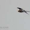 White-tailed Kite (juv)