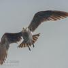 Heerman's Gull