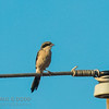 Northern (Great Grey) Shrike