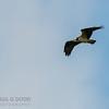 (Western) Osprey