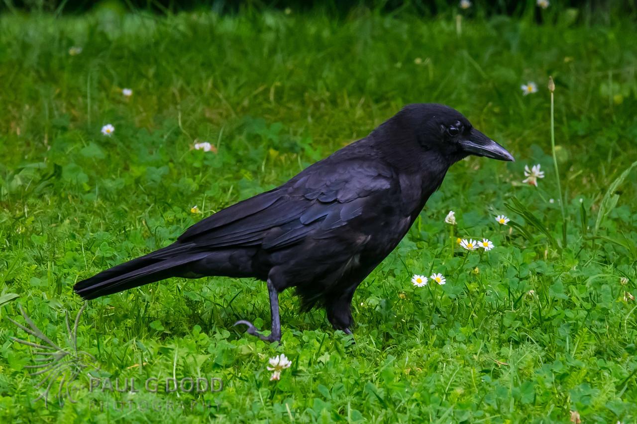 Northern (Common) Raven