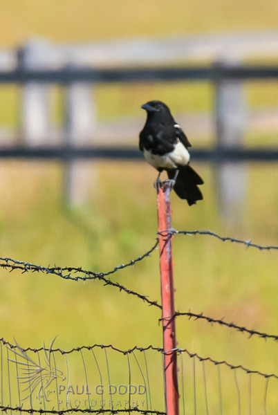 Black-billed Magpie