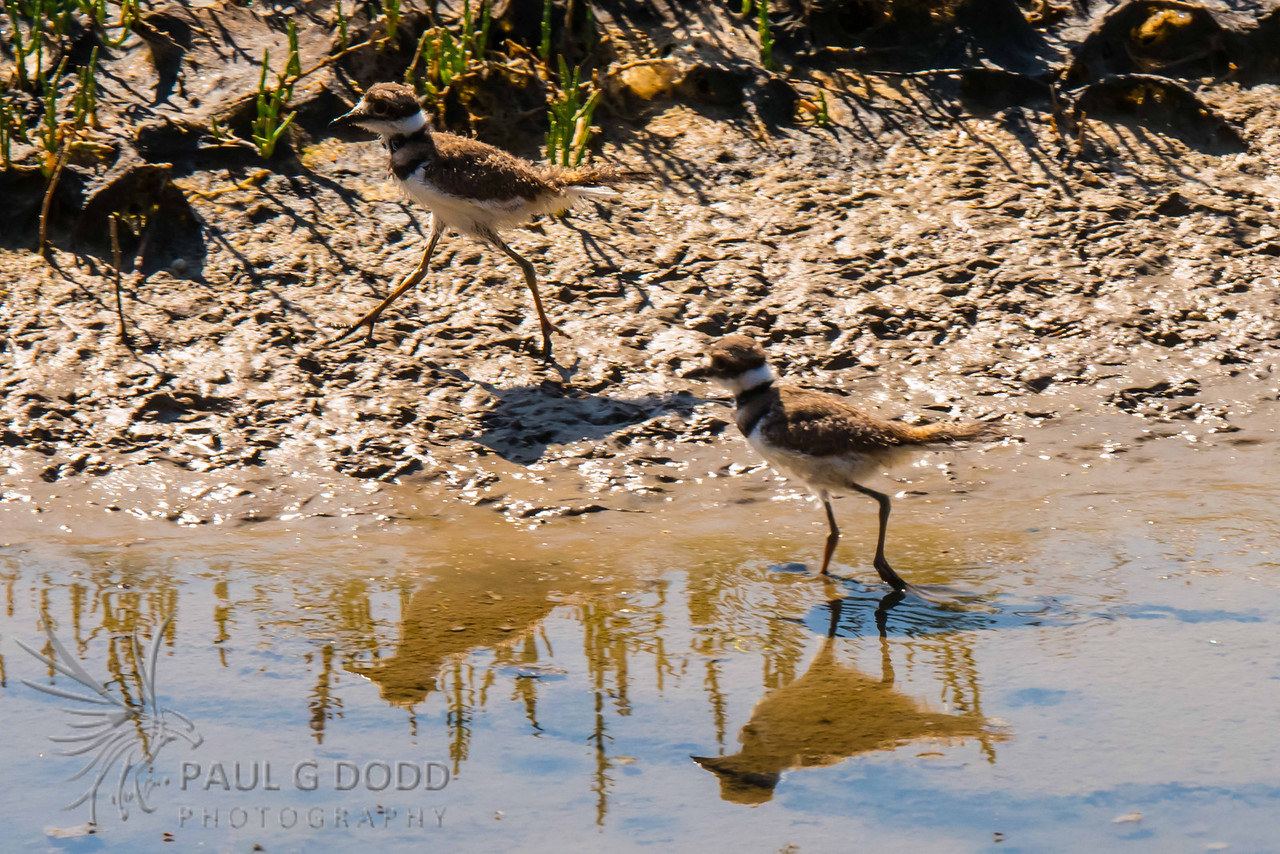 Killdeer (juv)