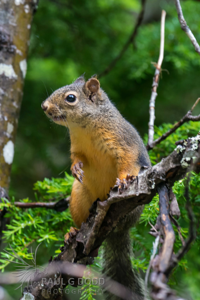 (American) Red Squirrel