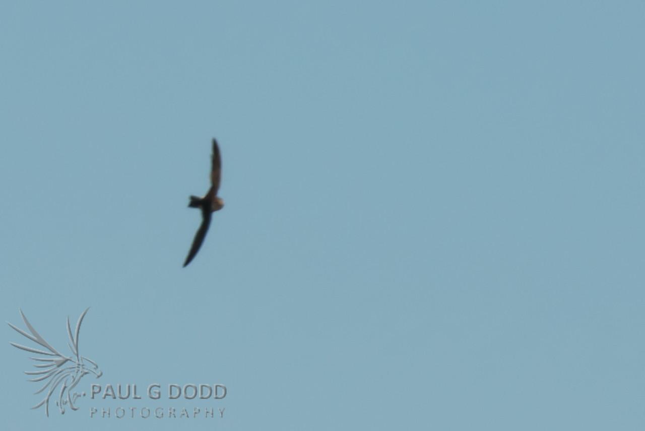 White-throated Swift