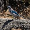 Western (California) Scrub Jay