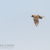 Bank Swallow (Sand Martin)