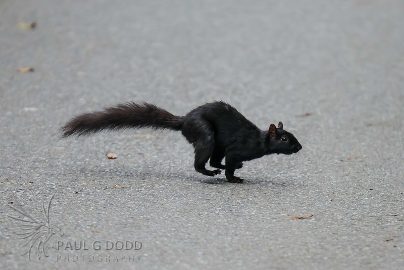 Black (Eastern Gray) Squirrel