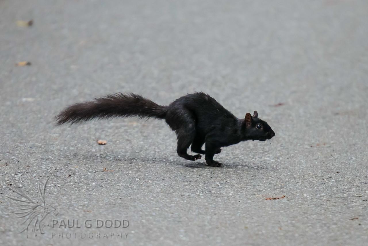 Black (Eastern Gray) Squirrel
