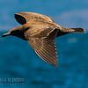 Heerman's Gull (1st year)