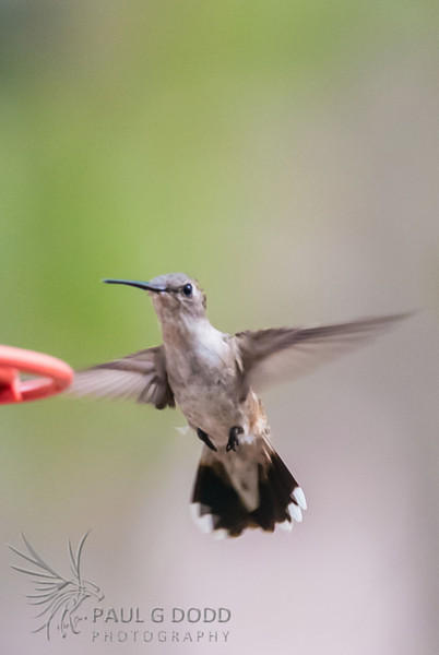 Black-chinned Hummingbird (juv/fem)