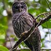 (Northern) Barred Owl