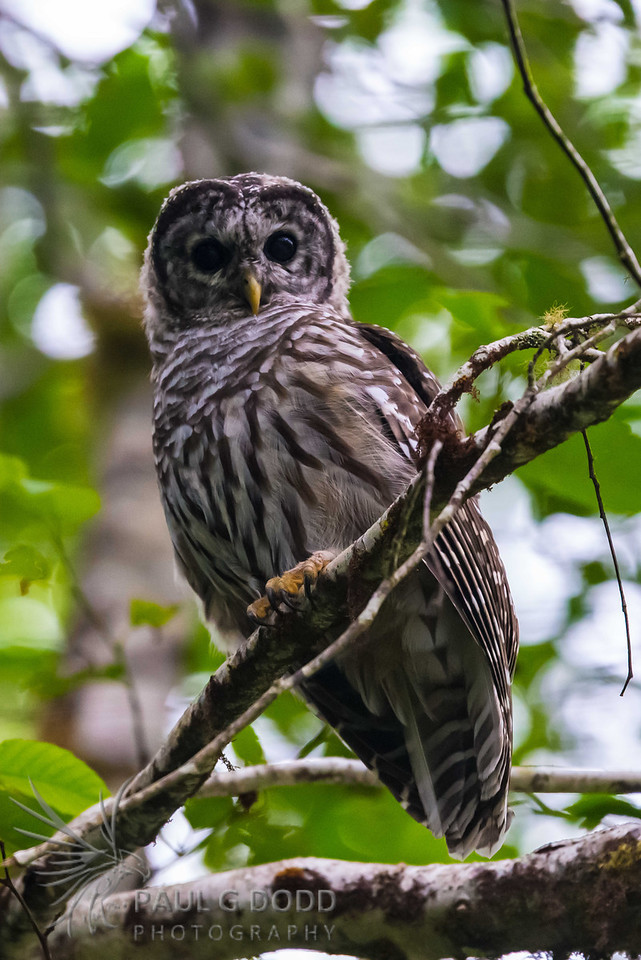 (Northern) Barred Owl