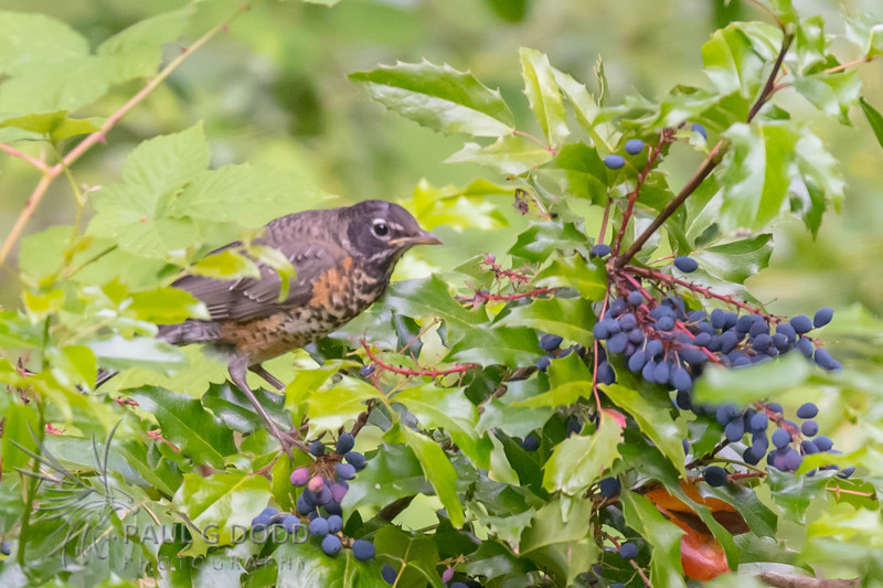 American Robin (juv)