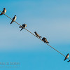 Northern Rough-winged, Tree, Bank, Barn and Cliff Swallows