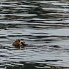 California Sea Otter