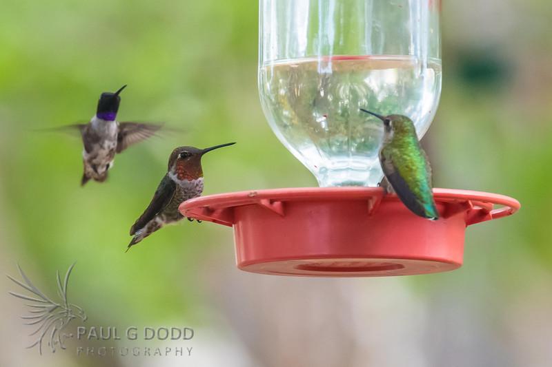 Anna's Hummingbird, Black-chinned Hummingbird