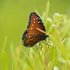 Striated Queen Butterfly