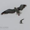 Western Gull & Elegant Tern