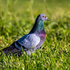 Rock Dove (Feral Pigeon)