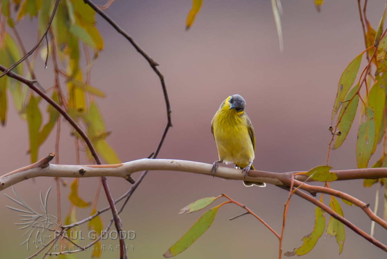 Grey-headed Honeyeater