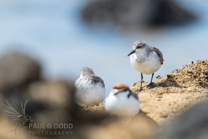 Red-capped Plover, Red-necked Stint