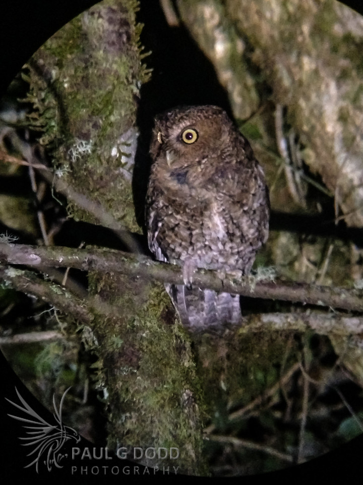 Bare-shanked Screech-Owl (iPhone digiscope)