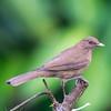 Clay-colored Robin (Thrush)