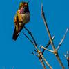 Volcano Hummingbird (male)