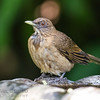 Clay-colored Robin (Thrush)