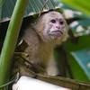 White-faced (White-headed) Capuchin