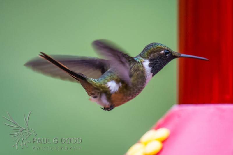 Volcano Hummingbird (male) - Talamanca Cordillera race