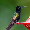 Black-bellied Hummingbird (male)