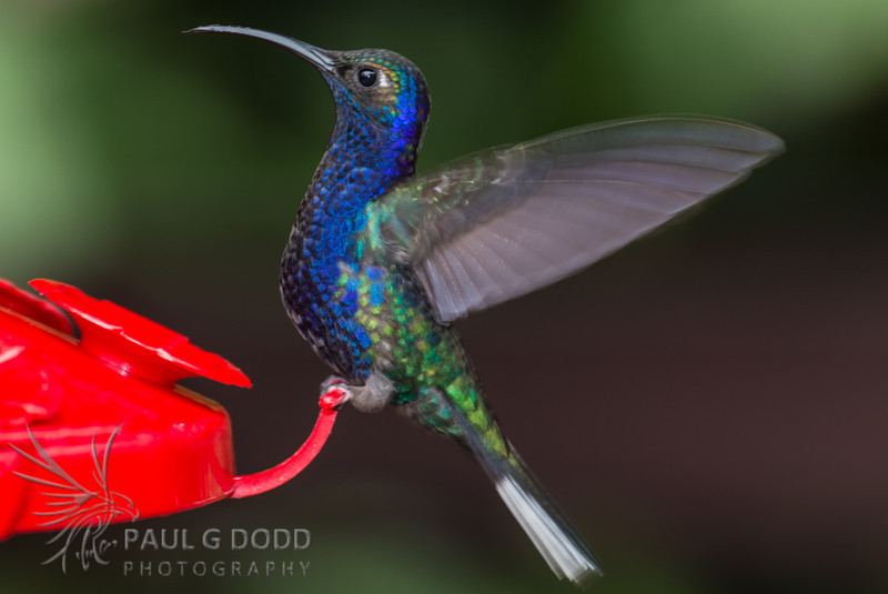 Violet Sabrewing (male)