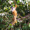 Central American (Red-backed) Squirrel-monkey